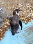 Pinguin beim Baden